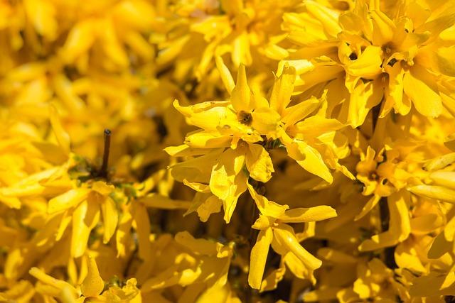 Forsythia, Gold Lilac, Golden Bells, Bush, Bloom