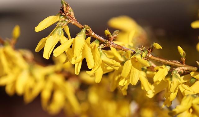 Forsythia, Garden Forsythia, Gold Lilac, Golden Bells