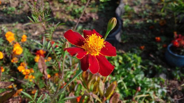 Flowers, Gold Mary, Flower Garden