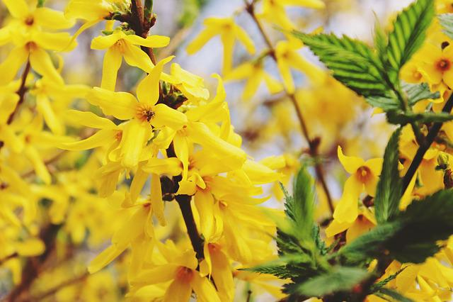 Gold Shrub, Easter Bush, Golden Bells, Stangeblueter