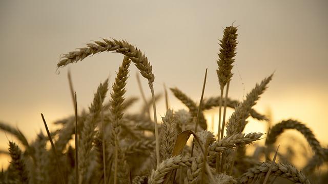 Wheat, Mai, Gold Yellow, 飽 Full, Harvest, Seasons