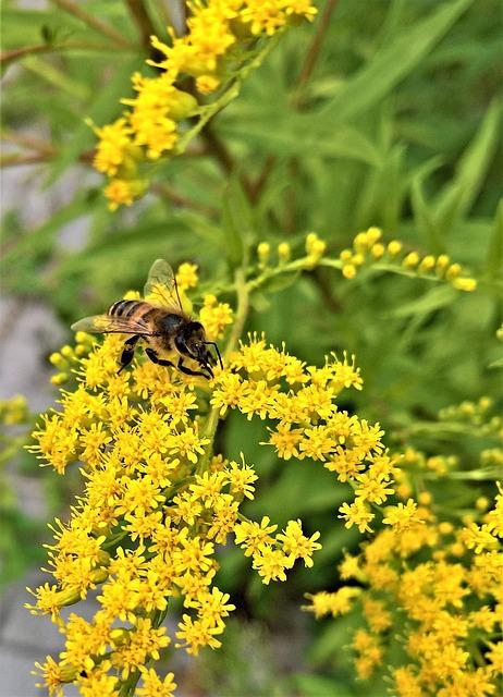 Plant, Golden Rod, Gold Yellow Flowers, Composites