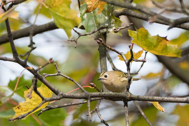 Goldcrest, Avian, Bird, Autumn, Branch, Nature, Tiny