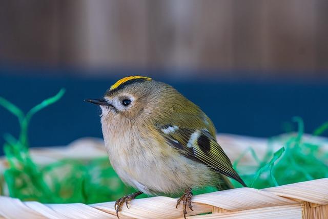 Goldcrest, Bird, Regulus Regulus, Animal, Small, Nature