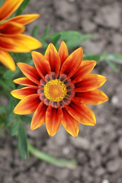 Golden Afternoon, Gazanie, Flower Noon Of Gold