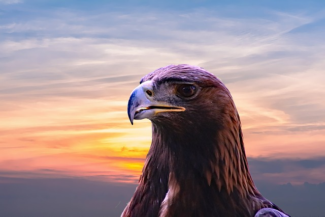 Golden Eagle, Eagle, Bird, Nature, Wildlife, Animal