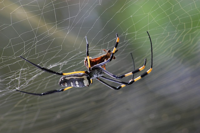 Golden Orb Spider, Spider, Spider Web, Nature, Cobweb