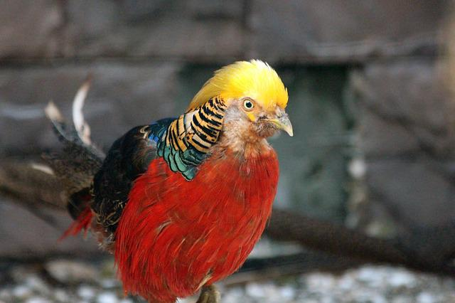 Pheasant, Bird, Golden Pheasant, Chrysolophus Pictus Or