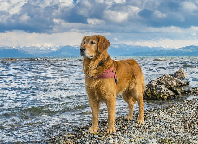 Dog, Lake Constance, Golden Retriever, Beach, Winter