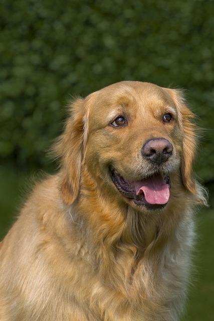 Dog, Pet, Cute, Mammal, Golden Retriever, Portrait