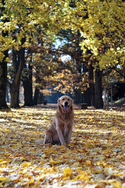 Golden Retriever, Autumn, Leaves, Trees, Alley