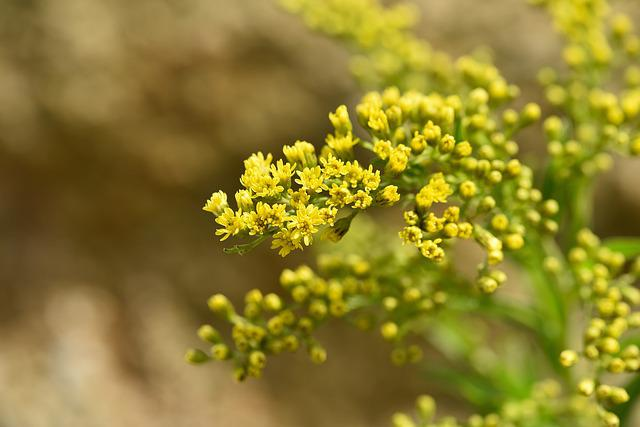 Golden Rod, Plant, Yellow, Flowers, Yellow Flowers