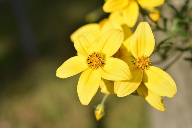 Gold Marie, Bidens Ferulifolia, Goldweizahn