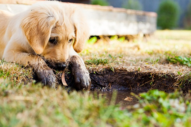 Puppy, Muddy Puppy, Puppy Playing, Goldy Pup, Pet