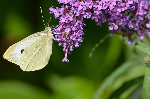 Butterfly, Gonepteryx Rhamni, Insect