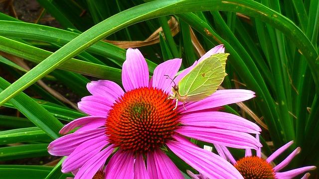 Gonepteryx Rhamni, Flower, Butterfly, Close, Blossom