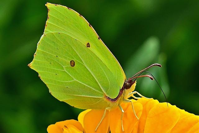 Nature, Butterfly, Gonepteryx Rhamni, Zinnia, Close Up