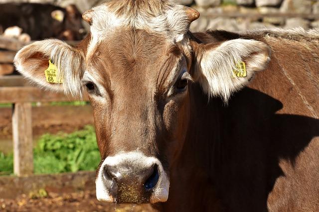 Cow, Beef, Snout, Hoofed Animals, Good Aiderbichl