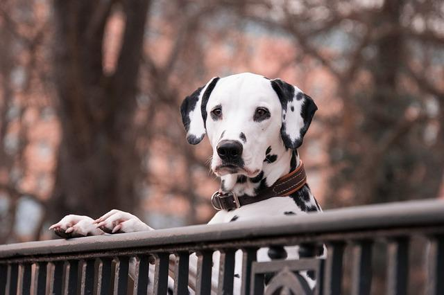 Dalmatians, Dogs, Pet, Good
