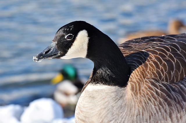 Goose, Wild Goose, Poultry, Water Bird, Goose Beak