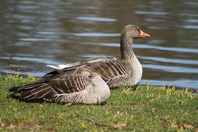 Goose, Nature, Bird, Lake