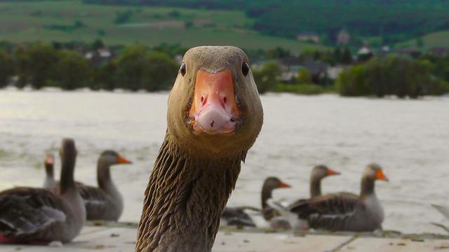 Goose, Water Bird, Nature, Bird, River, Portrait, Head