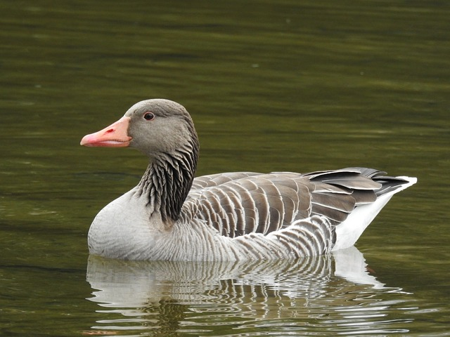 Goose, Lake, Water Bird, Bird