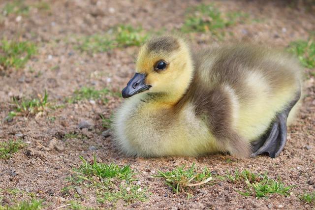 Chicks, Young, Young Birds, Canada Goose, Goose