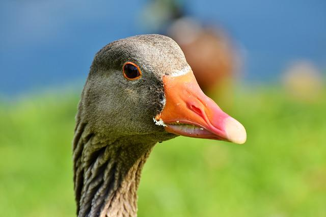Goose, Poultry, Bird, Bill, Domestic Goose, Plumage