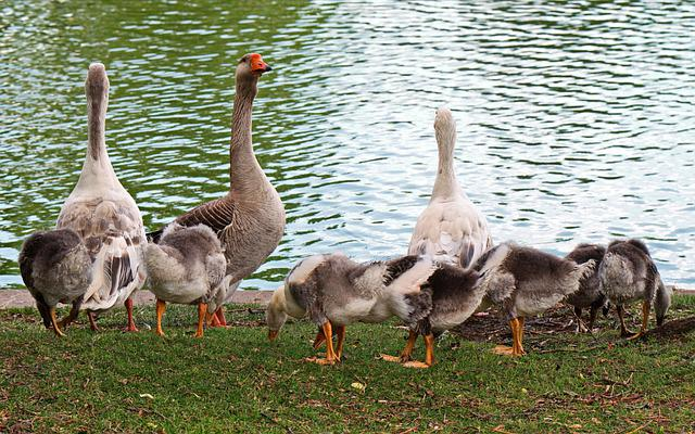 Goose, Chicken, Birds, Plumage, Down