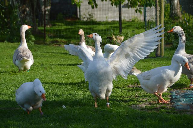 Breeding, Goose, Plumage, Poultry, Pen, Farm, Ranting