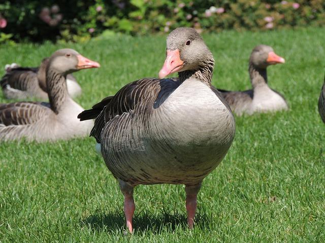 Goose, Animal, Bird, Nature, Meadow