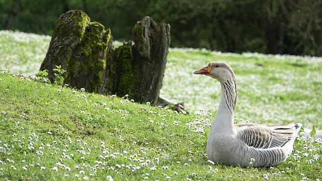 Goose, Nature, Outdoor, Lawn