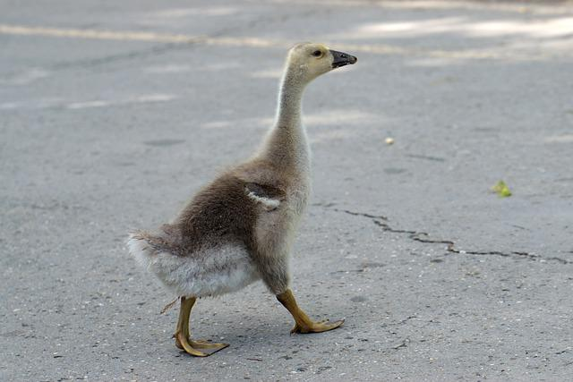 Bird, Chicken, Goose, Single, Plumage, Down, Beak
