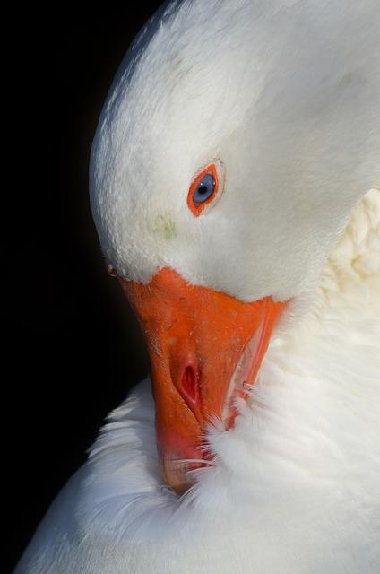 Goose, Bird, Domestic Goose, Bill, Livestock, Poultry