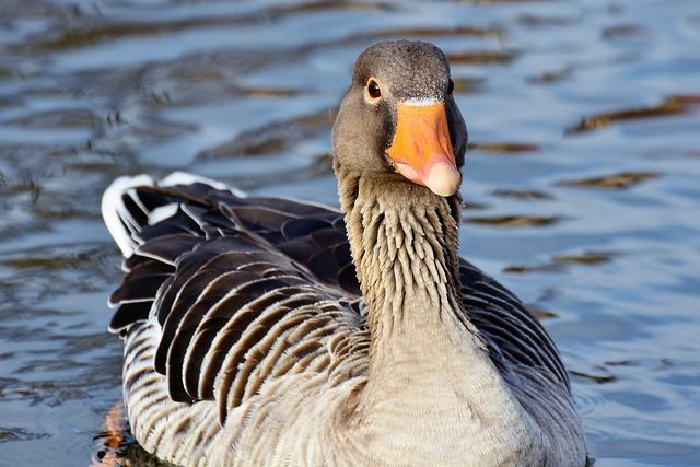 Wild Goose, Goose, Water Bird, Greylag Goose, Poultry