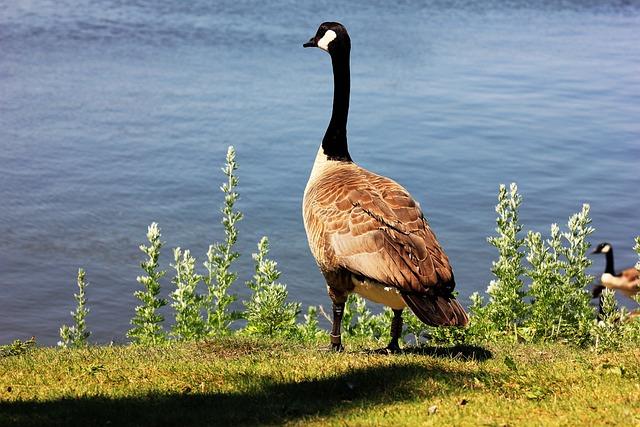 Goose, Regina, Saskatchewan, Geese, Nature, Canada