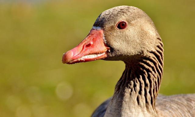 Goose, Water Bird, Animal, Feather, Waterfowl