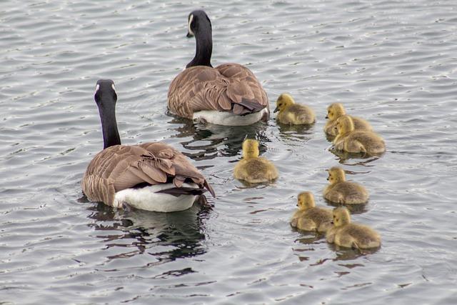 Duck, Bird, Waterfowl, Goose, Water