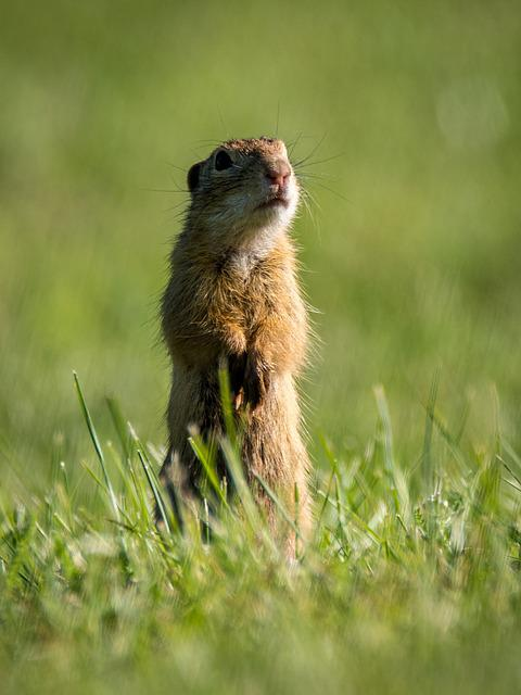 Gopher, Spermophilus Citellus, Rodent, Small, Animal