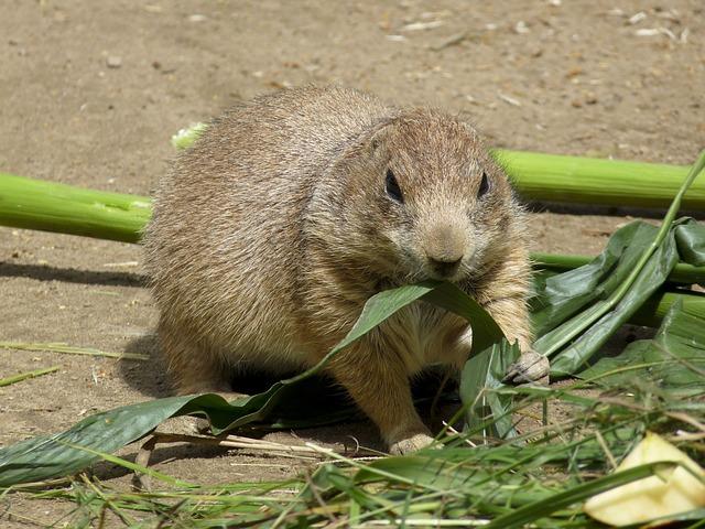 Prairie Dog, Zoo, Rodent, Croissant, Mammal, Gophers