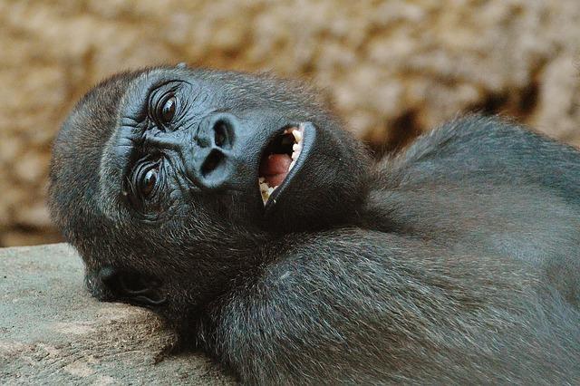 Monkey, Gorilla, Zoo, Animal, Wild Animal