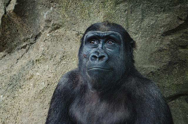 Animal, Animal Photography, Ape, Gorilla, Monkey