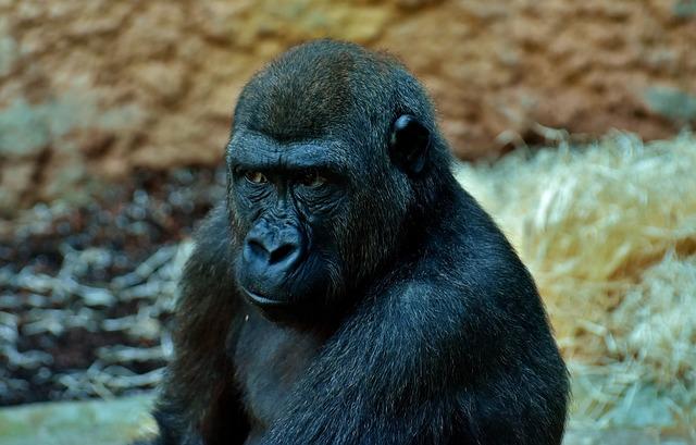 Gorilla, View, Skeptical, Monkey, Animal, Zoo, Furry