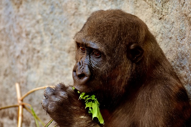 Gorilla, Feeding, Hungry, Greedy, Zoo, Hellabrunn, Feed