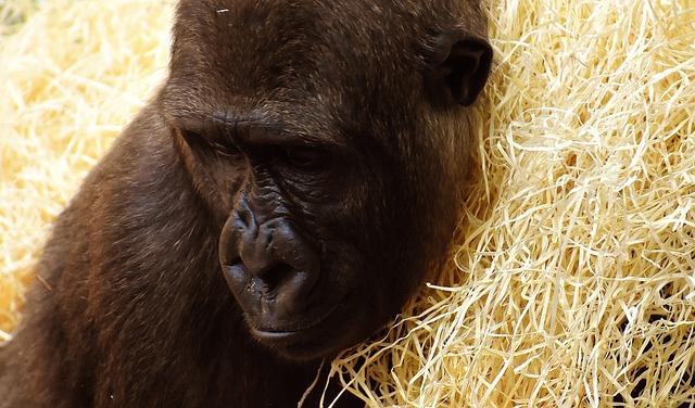 Gorilla, Monkey, Animal, Zoo, Furry, Omnivore, Portrait