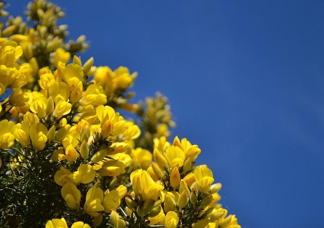 Gorse, Scotland, Blue, Sky, Scottish, Uk, Spring