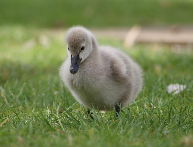 Gosling, Park, Grass