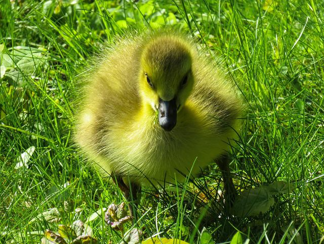 Animals, Chicks, Goose, Young Goose, Goslings, Cute