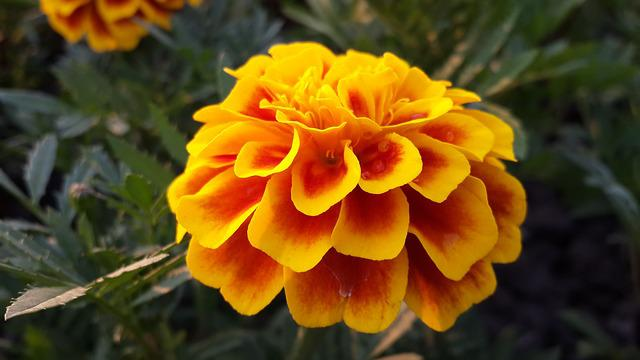 Flower, Marigold, Yellow, Gradient, Bird's Flowers, Xie